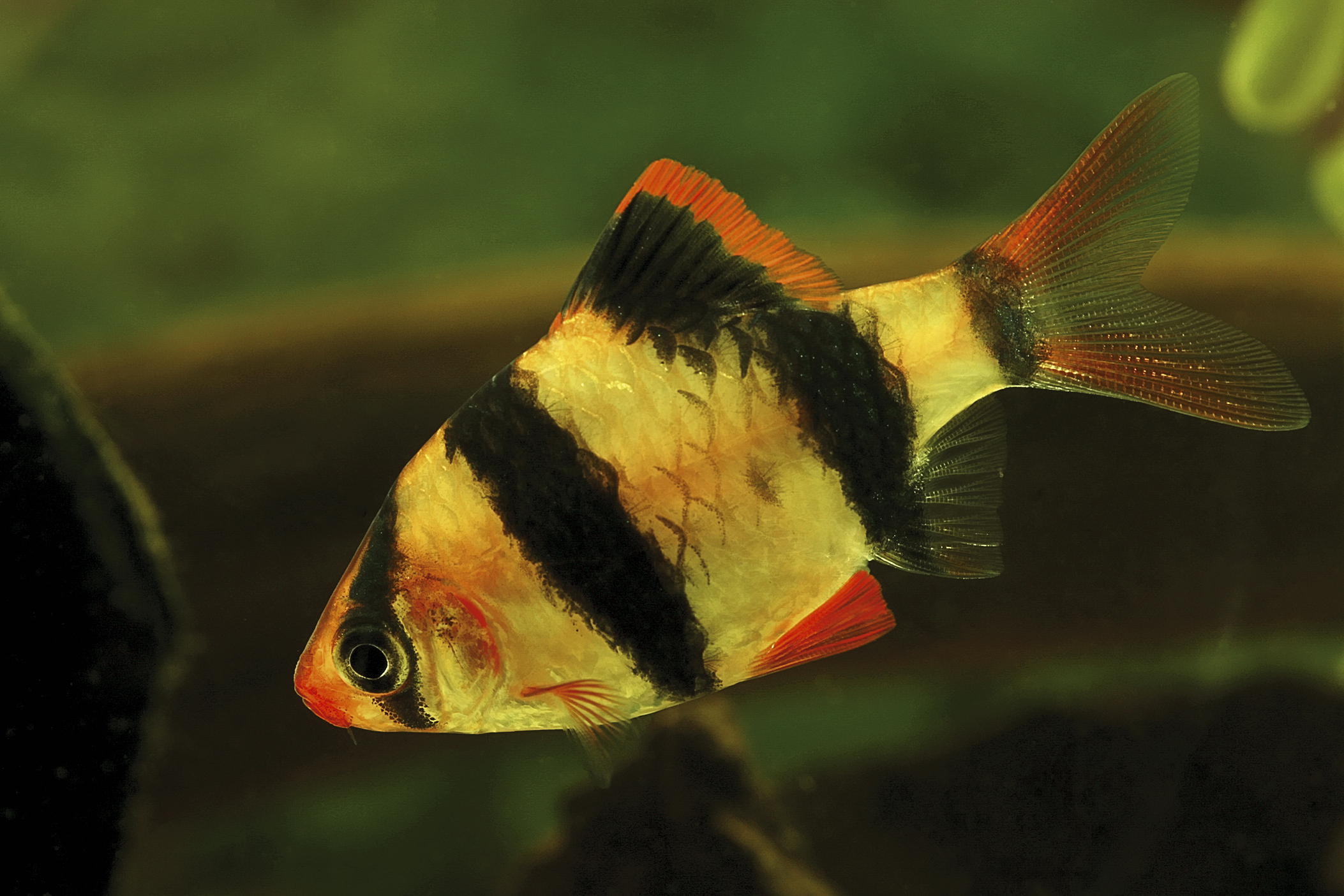 The tiger barb
