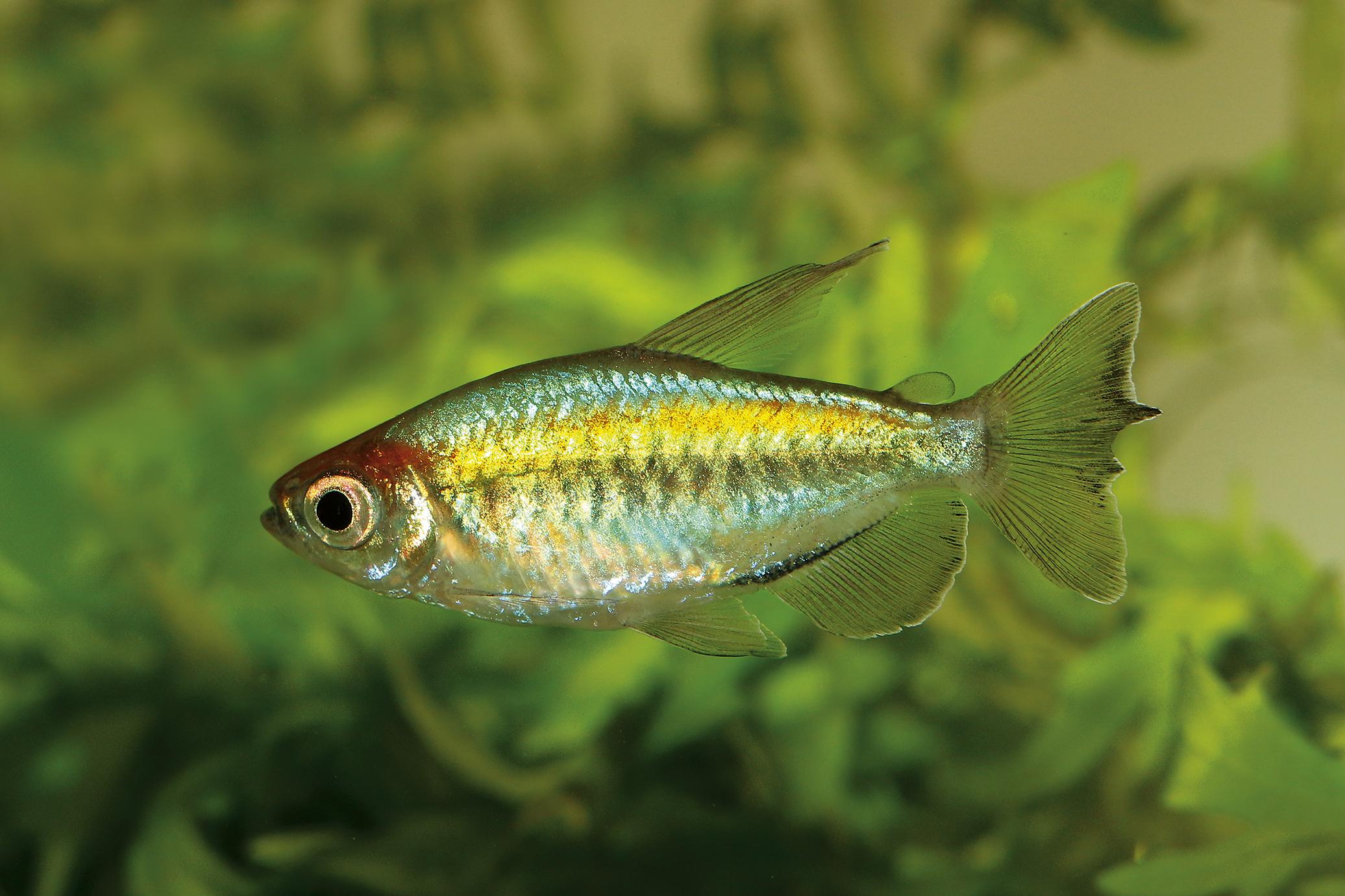 Congo tetra aquarium fish Phenacogrammus interruptus